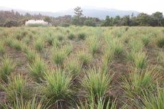 Granja orgánica del Cymbopogon en la montaña en Tailandia Imagen de archivo libre de regalías