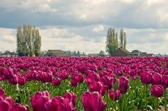 Granja púrpura del tulipán Imagen de archivo libre de regalías