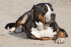 Granja-perro soñoliento - perro de St. Bernard imagen de archivo