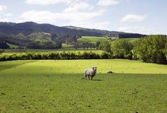 Granja prístina para las ovejas de alimentación Fotos de archivo