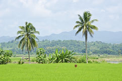 Granja quince del arroz Fotos de archivo libres de regalías