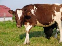 Granja: situación marrón de la vaca Imagenes de archivo