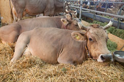 Granja suiza de la vaca Fotos de archivo libres de regalías