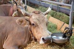 Granja suiza de la vaca Foto de archivo libre de regalías