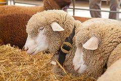 Granja suiza de la vaca Imágenes de archivo libres de regalías