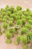 Granja tailandesa del arroz Fotos de archivo