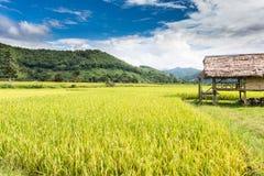 Granja tailandesa del arroz Imagen de archivo libre de regalías