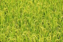 Granja trece del arroz Foto de archivo libre de regalías