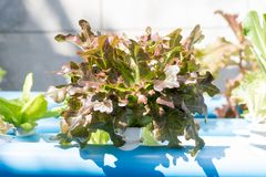 Granja vegetal hidropónica orgánica del cultivo foto de archivo