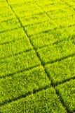 Granja verde del almácigo del arroz Fotos de archivo libres de regalías