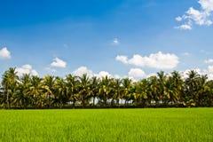 Granja verde del arroz Fotos de archivo libres de regalías