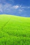 Granja verde del arroz en el cielo azul de la nube Fotografía de archivo libre de regalías