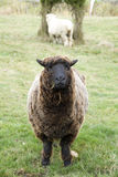 Granja vieja de las ovejas Foto de archivo