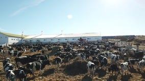 Granja y granero, helicóptero que tira de la vaca almacen de metraje de vídeo
