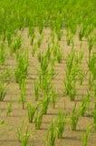 Granjas del arroz Fotos de archivo libres de regalías