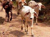 Granjas y vacas, Ecuador imagen de archivo