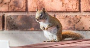 Granjeando a afeição de, o esquilo vermelho da primavera, fim acima, sentando-se acima em uma plataforma, patas dobrou à caixa Fotografia de Stock