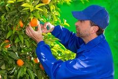 Granjero anaranjado de la mandarina que recoge al hombre Foto de archivo libre de regalías