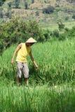 Granjero asiático en el campo del arroz imagen de archivo libre de regalías