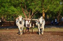 Granjero birmano con la vaca para arar el remolque en arroz Imagenes de archivo