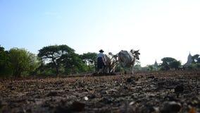 Granjero birmano con la vaca para arar el remolque en arroz almacen de video