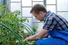 Granjero caucásico Checking Tomato Plants en invernadero Imagenes de archivo