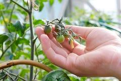 Granjero caucásico Checking Tomato Plants en invernadero Fotografía de archivo
