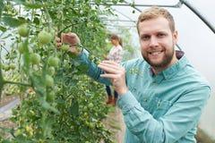 Granjero Checking Tomato Plants en invernadero Foto de archivo libre de regalías
