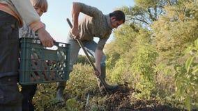 Granjero con los niños que cosechan la patata dulce orgánica en el campo de la granja del eco almacen de video