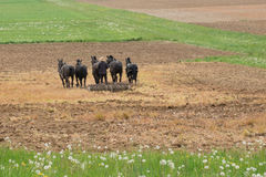 Granjero de Amish con los caballos foto de archivo libre de regalías