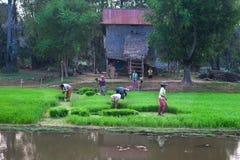 Granjero de CAMBOYA 29 de diciembre A con su almácigo del arroz de la cosecha de la familia muy temprano por la mañana del cuarto Foto de archivo libre de regalías