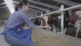 Granjero de la chica joven que hace un viaje del granero en las vacas de alimentación de la granja Becerros que alimentan proceso almacen de metraje de vídeo