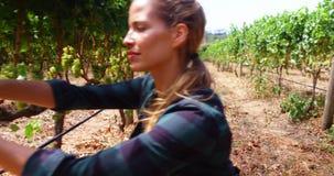 Granjero de la mujer que corta una uva de vino almacen de metraje de vídeo