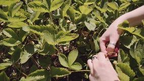 Granjero de la mujer que escoge las fresas maduras durante tiempo de cosecha en el jardín almacen de video