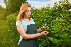 Granjero de la mujer que trabaja en jardín de la fruta El inspector del biólogo examina arbustos de zarzamora foto de archivo libre de regalías