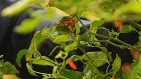 Granjero de las manos que recoge pelotillas del chile en las ramas