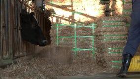 Granjero de lechería que limpia un establo moderno, mientras que las vacas están comiendo Granero del ganado almacen de video
