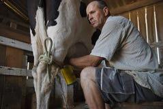 Granjero de lechería que ordeña una vaca. Imágenes de archivo libres de regalías