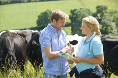 Granjero de lechería Talking To Vet en campo con ganado en fondo Fotografía de archivo