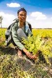 Granjero de sexo femenino del garbanzo que examina sus campos de la cosecha imágenes de archivo libres de regalías