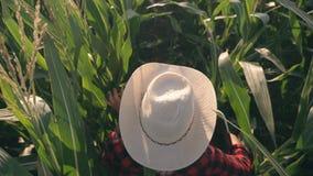 Granjero de sexo femenino en un campo de maíz Trabajo agrícola de la cosecha sobre un campo de maíz almacen de video
