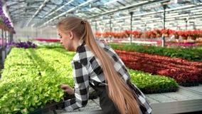 Granjero de sexo femenino profesional joven que pone la caja con la planta del almácigo que trabaja en el invernadero metrajes