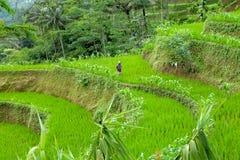 Granjero de sexo femenino que camina a través de campos del arroz foto de archivo