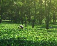 Granjero de sexo femenino que cosecha la cosecha interior del té Foto de archivo libre de regalías