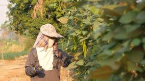 Granjero de sexo femenino que recoge la haba coa alas y que camina en granja almacen de video