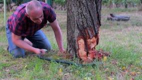 Granjero de sexo masculino que asierra el árbol viejo Árbol frutal envejecido centro del corte del hombre abajo Hombre maduro, ja almacen de metraje de vídeo