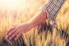 Granjero de sexo masculino que toca los oídos de la cosecha del trigo en campo foto de archivo libre de regalías