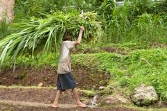 Granjero del arroz Foto de archivo