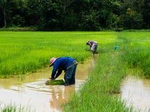 Granjero del arroz Imagen de archivo libre de regalías