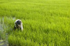 Granjero del arroz Fotografía de archivo